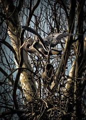 Blue Heron Nesting (Rx Eman.) Tags: cuyahogavalley blueherons greatblueherons heronry migratorybirds treetopterritory