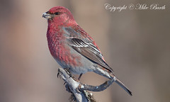 Pine Grosbeak (Pinicola enucleator) (Bird Guide UAE - 1M+ Views thanks !) Tags: pine grosbeak pinicola enucleator allofnatureswildlifelevel1 allofnatureswildlifelevel2 allofnatureswildlifelevel3 allofnatureswildlifelevel4 allofnatureswildlifelevel5 allofnatureswildlifelevel8 allofnatureswildlifelevel6 allofnatureswildlifelevel7 allofnatureswildlifelevel9