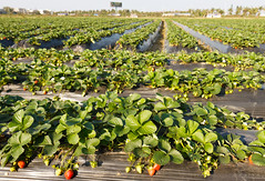 Strawberry Farm (HainanConnection) Tags: china strawberries haikou hainan
