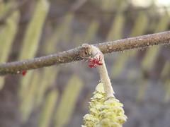 3285 filbert bloom (growing hazelnuts) Tags: flower filbert