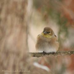 Chardonneret jaune (Monic LaRochelle) Tags: bird photography photographie oiseaux chardonneretjaune passereau