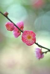 plum blossoms (snowshoe hare*(mostly off)) Tags: flowers nature kyoto 京都 梅 plumblossoms japaneseapricot kitanotenmangushrine prunusmume 北野天満宮梅苑