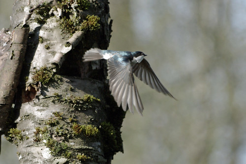 Tree Swallow - Heron Reserve
