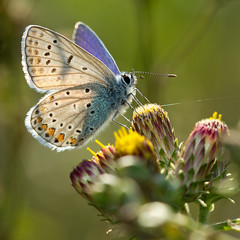 Argus bleu (Polyommatus icarus) Common Blue (Sinkha63) Tags: france macro nature die lepidoptera prairie commonblue papillons polyommatusicarus lycaenidae rhnealpes inula lpidoptre polyommatinae thegalaxy inulaconyza argusbleu azurdelabugrane inule mygearandme mygearandmepremium mygearandmebronze mygearandmesilver mygearandmegold mygearandmeplatinum mygearandmediamond inuleconyse
