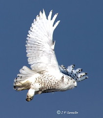 JUVENILE SNOWY OWL IN FLIGHT  | HARFANG DES NEIGES IMMATURE EN VOL  | BUBO SCANDIACUS  |  MONTREAL  |  QUEBEC   | CANADA (J P Gosselin) Tags: cyul juvenile snowy owl flight harfang des neiges immature en vol nyctea scandiaca quebec canada juvenilesnowyowlinflight inflight juvenilesnowyowl harfangdesneigesimmatureenvol harfangdesneigesimmature envol nycteascandiaca canoneos7d yul montreal aircraft airplane airport avion trudeau aéroport dorval canon eos rebel t2i petrudeauinternationalairport aéroportinternationalpetrudeau petrudeau canoneosrebelt2i montréal québec ph:camera=canon geo:country=canada geo:region=quebec geonames:locality=montreal geo:lat=45281428 geo:lon=73440255 geo:lat=45281428geolon73440255 flickr