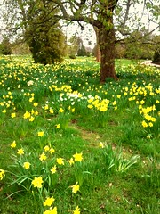 SPRING 2011 (Adam Swaine) Tags: county uk flowers trees england sky green english beautiful yellow landscape countryside flora village britain villages east daffodils counties naturelovers 2011 samsungmobile thisphotorocks englishlandscapes mostbeautifulpicturesmbppictures