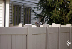 Happy Fence Friday :) (jcdriftwood) Tags: fence squirrel redsquirrel fencefriday