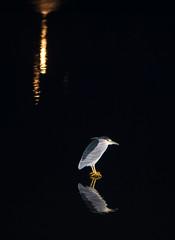 Night Heron Fishing At Night (aeschylus18917) Tags: park lake bird heron nature japan night reflections tokyo pond nikon nocturnal wildlife   koen waterfowl nerima  105mm nerimaku nightheron 105mmf28 goisagi  shakuji shakujikoen   105mmf28gvrmicro gorsachius blackcappednightheron d700 nikkor105mmf28gvrmicro  shakujipark  nikond700 gorsachiusgoisagi danielruyle nycticoraxnucticorax japanesenightheron ardeidai aeschylus18917 danruyle druyle goisagigorsachius   shakujiiken