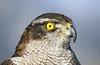 Sparrowhawk (NotMicroButSoft (Fallen in Love with Ghizar, GB)) Tags: pakistan bird nature sparrowhawk ayubia galiyat avianfauna