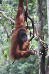 Bukit Lawang, orangutan by Arian Zwegers, on Flickr