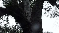 Pajaro Carpintero de Chile, Compephilus magellanicus (endmico), Chilean, Woody Woodpecker. (Pato Novoa) Tags: pajaro woodywoodpecker carpintero