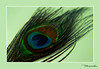 Mayilpeeli.... (SPrasanth) Tags: feather peacock mayilpeeli