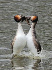 Great Crested Grebes (alison brown 35) Tags: uk wild bird nature water birds canon march dance spring weed dam wildlife ngc 300mm npc 7d mating ritual sthelens 2012 courtship grebes podicepscristatus 14x carrmill greatcrested specanimal amazingwildlifephotography