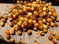 """Prunus avium L. f. """"amarilla"""" (Pato Novoa) Tags: cerasus"""
