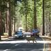 Deer on the valley loop road