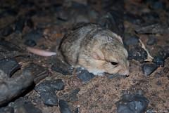 Pachyuromys duprasi (JAVIER.HERRERA) Tags: color sahara nature desert morocco desierto mamifero javierherrera pachyuromysduprasi