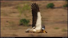 Egyptian Vulture (Neophron percnopterus) (S A R P A) Tags: vulture scavengers birdinflight ramanagaram egyptianvulture endangeredbirds canon1000d