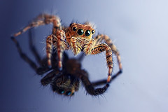 JUMPING SPIDER (ManButur PHOTOGRAPHY) Tags: blue bali macro reflection art nature canon indonesia photography dof spiders details sigma jumpingspider sigma105mm 450d macrolife