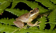 Whirring Tree Frog (Litoria revelata) (Gus McNab) Tags: tree amphibian frog frogs amphibians herp herps herpetology amphibia hylidae litoria whirring revelata hylid hylids
