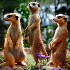 SENTINELS AT WORK (D3S_9696T) (cyppoon) Tags: southafrica meerkat johannesburg lionpark suricate suricatasuricatta specanimal cyppoon rememberthatmomentlevel4 rememberthatmomentlevel1 rememberthatmomentlevel2 rememberthatmomentlevel3