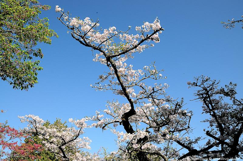 阿里山櫻花季96