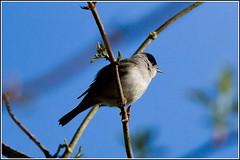 Blackcap - sylvia atricapilla (Linton Snapper) Tags: blackcap sylviaatricapilla tonysmith