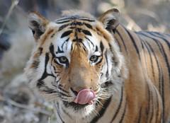 Bengal Tiger (blondassmofo) Tags: india wildlife tiger bengal pench wildanimals bengaltiger penchnationalpark flickrbigcats