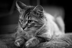 Kitten 1 B&W (mjkjr) Tags: portrait bw cute cat canon kitten dof fullframe f28 60d mjkjr ef70200mmf28isiiusm