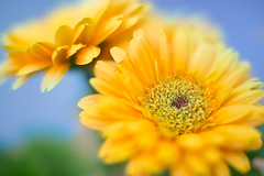 This spings first yellow Gerbera (Kain Kalju) Tags: flower macro yellow blossom sigma gerbera kenko focusstacked exttube