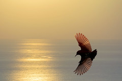 850E5780 - Golden wings of Purple Sunbird (crimsonbelt) Tags: park sunset nature birds golden wings dubai purple wildlife sunbird safa