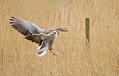 Landing Goose (Roland B43) Tags: birds belgium goose grauwegans uitkerke mygearandme mygearandmepremium mygearandmebronze mygearandmesilver mygearandmegold mygearandmeplatinum freedomtosoarlevel1birdsonly freedomtosoarlevel3birdsonly freedomtosoarlevel2birdsonly