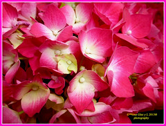 Pink flowers (Pepe (ADM)) Tags: pink flowers flores nature flor fiori pinkflowers fleure