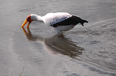 Yellow-billed stork fishing in the lake (supersky77) Tags: africa lake tanzania lago ngorongoro stork yellowbilledstork mycteriaibis magadi mycteria cicogna tantalo lakemagadi tantalobeccogiallo ngorongoronaturalreserve