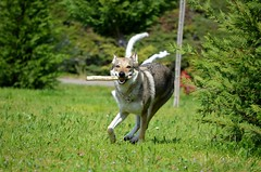 DSC_0047 (loudodi) Tags: chien nature animal animals cane nikon rivière loup animaux joie rire regard jeux wolfdog canelupocecoslovacco nikond5100 chienlouptchécoslovaque