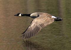 Flying Low (phenix) Tags: canada bird minolta g sony flight goose apo 300mm f4 hs bif a77 beckspond