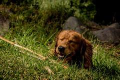 Bronco (Gian Gallardo) Tags: golden perro perros animales mascotas retriver