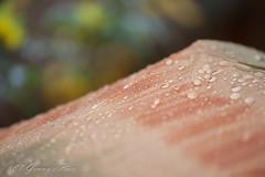 081-365 (bine77) Tags: umbrella canon bokeh outdoor sigma rainy raindrops 105mm sigma105mm 365days availabilelight 2014yip