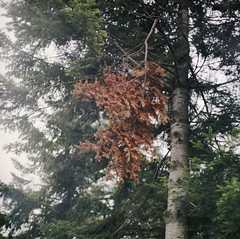 (nich_thomas) Tags: orange color tree green fall 120 film pine analog mediumformat needles pentaconsixtl braach