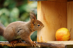 L'cureuil du jour (Seix/Arige) (PierreG_09) Tags: squirrel jardin ardilla pyrnes pirineos scoiattolo cureuil faune arige sciurusvulgaris aujardin seix cureuilroux couserans eichhrnschen sciurid cureuildeurasie