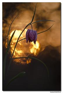 Fritillaire Pintade - Fritillaria Meleagris #2