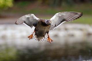 Mallard Duck, Landing