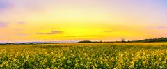 Coucher de soleil sur les champs de Colza (Stphane Slo) Tags: sunset france reflection clouds landscape eau pentax hiver nuages paysage reflexion hdr coucherdesoleil colza sane pentaxk3ii