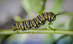 Chenille / Caterpillar (Monarque / Monarch Butterfly / danaus plexippus) (www.yravaryphotoart.com) Tags: macro closeup butterfly insect bokeh caterpillar papillon monarch chenille insecte monarque profondeurdechamp canoneos7d canonef100mmf28lmacroisusm yravary yravaryphotoart