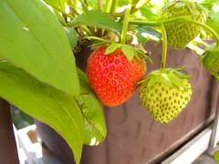 20160521_Terrasse_07 (weisserstier) Tags: vienna wien spring strawberry terrasse beere frucht frhling erdbeere fracaria