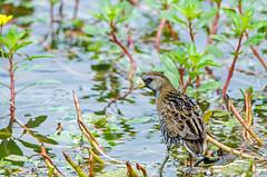 Sora (RockOnMonster) Tags: bird nature water birds outside outdoors pond nikon louisiana wildlife birding waterbird birdwatching sora porzanacarolina louisianabirds northwestlouisiana d7000 nikond7000