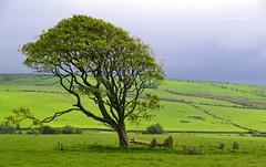 (Zak355) Tags: tree scotland standingstones scottish stonecircle bute rothesay isleofbute ettrickbay