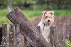 Curious (Ovidiu Maris) Tags: wood dog animal fence bokeh curious caine
