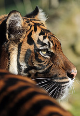 sumatran tiger Burgerszoo JN6A5977 (j.a.kok) Tags: tiger sumatrantiger tijger burgerszoo pantheratigrissumatrae sumatraansetijger
