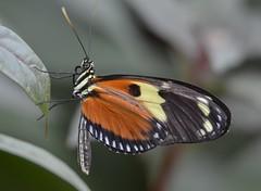 8143ex  luscious longwing (jjjj56cp) Tags: orange black macro closeup edenpark details mariposa schmetterling cincinnatioh krohnconservatory farfalle longwing jennypansing 2016butterflyshow
