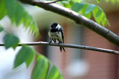 Drying in the Sun (Hannah Hamblin) Tags: trees summer white black tree bird blakandwhite wet leaves spring fluffy fluff chickadee 2016